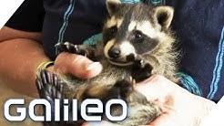 Waschbären-WG: Paar lebt mit 7 Waschbären   Galileo   ProSieben