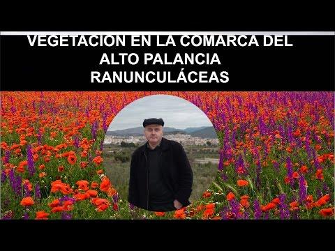Jornada Botánica en homenaje a Carlos Pau Español  Ranunculáceas en El Alto Palancia