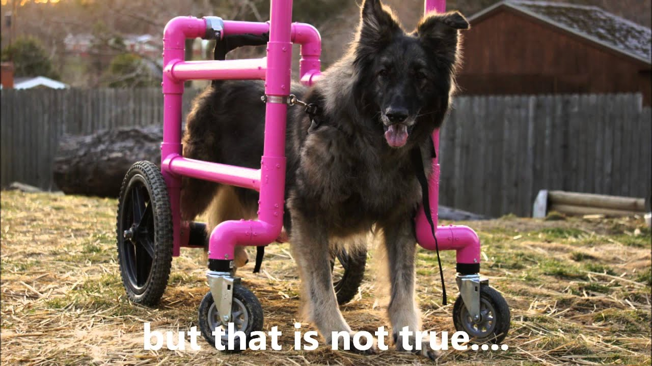 Kimber the Shiloh Shepherd in homemade dog wheelchair with inspiring message