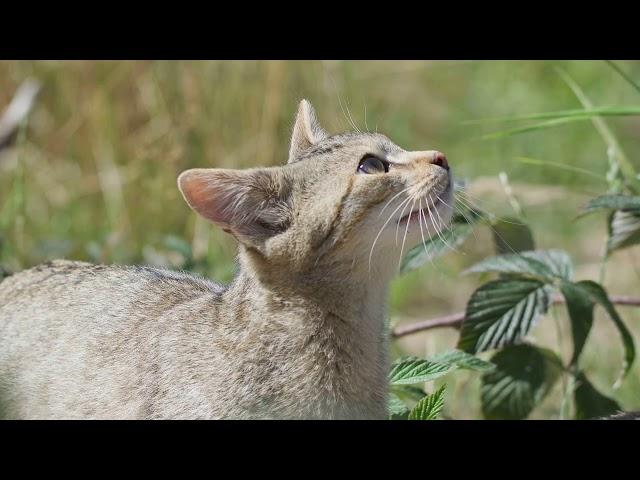Wildkatzengehege an der Marienteichbaude im Harz
