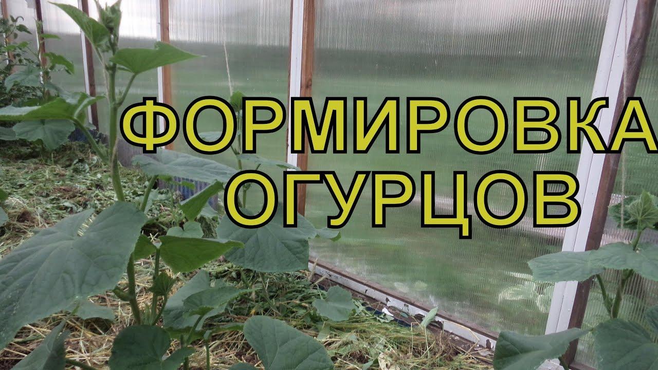На каком расстоянии сажать огурцы: правила выращивания рассады