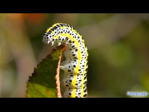 Chenille jaune blanche et noir superbe youtube - Chenille orange et noir ...