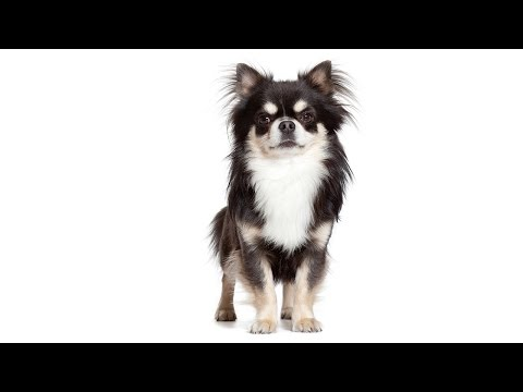 What Makes Your Chihuahua Unique?