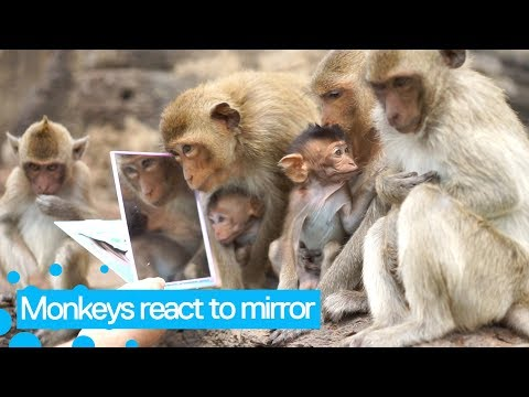 Monkeys React To A Mirror For The First Time