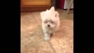 Madison The Maltese - First Day Home