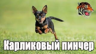 Карликовый пинчер (миниатюрный пинчер,цвергп́инчер).О породе собак.
