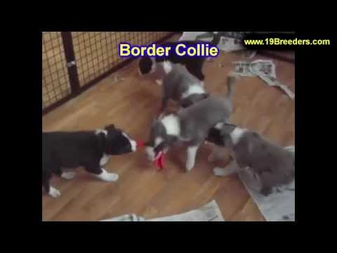 Border Collie, Puppies, For, Sale, In, Green Bay, Wisconsin, WI, Eau Claire, Waukesha, Appleton, Rac