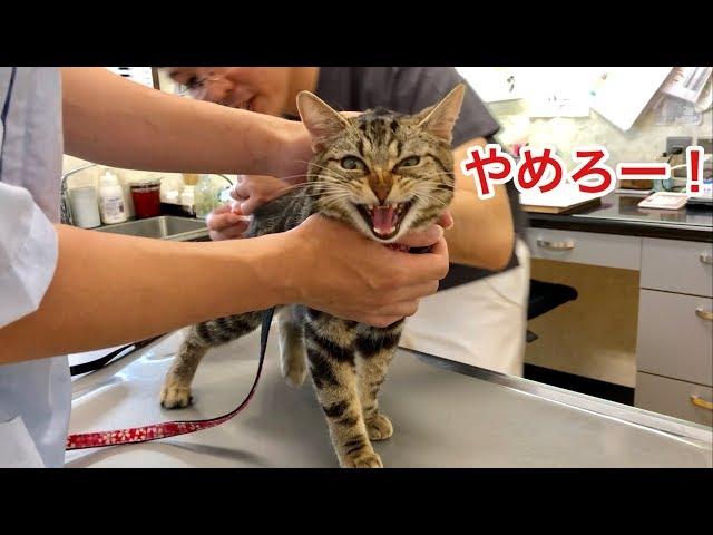 動物病院での注射が嫌すぎて大暴れしてしまった猫