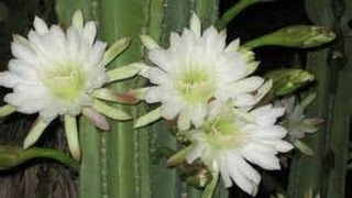 How to Grow the Night Blooming Cactus - Cereus CACTUS