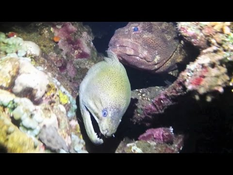Giant Moray Eel and Grouper are hunting together