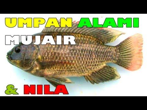 Download umpan alami mancing mujair dan nila | natural bait for tilapia