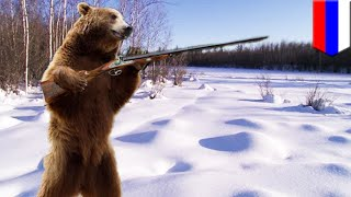 Armed and dangerous: Brown bear steals hunting rifles, now on the loose in Siberia - TomoNews