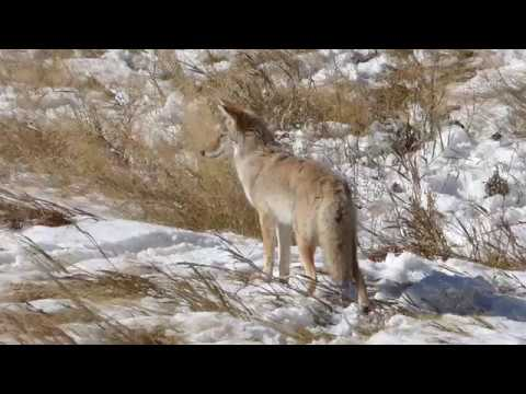 Coyote Hunting In Yellowstone NP after Snowfall, Oct 2019