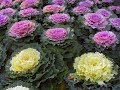 Amazing and Most Beautiful Ornamental kale   Ornamental Cabbage Flowers