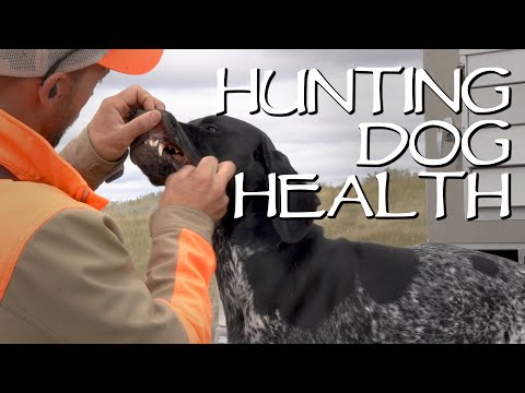 Hunting Dog Health - Making Sure Your Dogs Are Healthy On A Hunting Trip