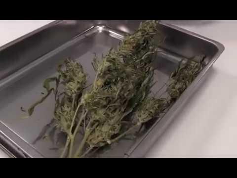 Cannabis terapeutica gratis in Sicilia [STUDIO 98]