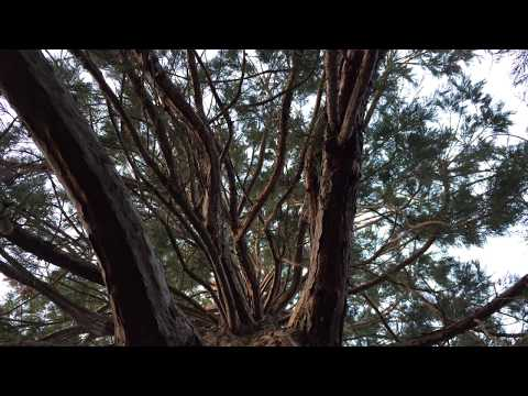 Giant redwood (Sequoiadendron giganteum) - canopy - December 2017