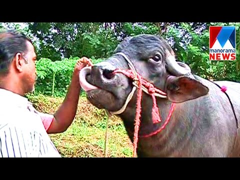 Priceless Buffalo called Babu | Manorama News