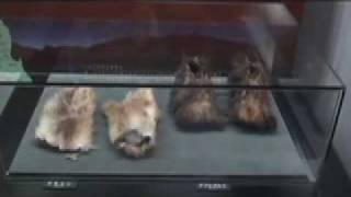 北秋田市阿仁打当温泉に併設されているマタギ資料館の展示物の一部を紹...