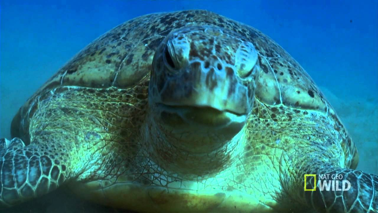 pbkids with natgeo meet the green sea turtles youtube