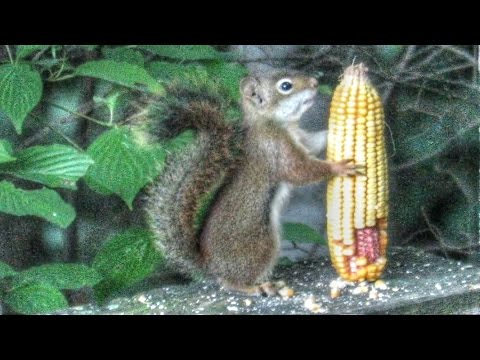 Cute Red Squirrel Kitten Eating Corn Cob