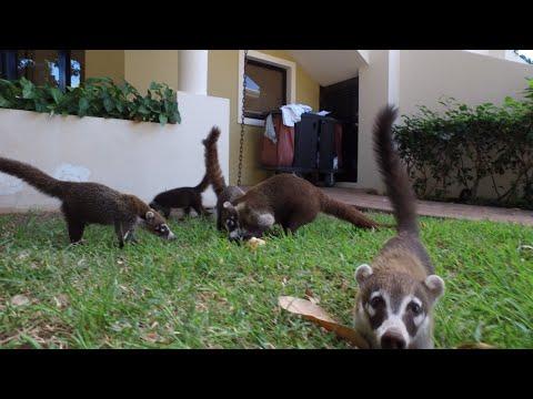 Crazy Coatis in Costa Rica!