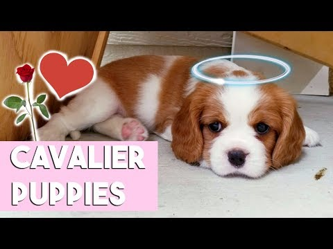 MEETING CAVALIER KING CHARLES PUPPIES! Milton is an auntie!!!