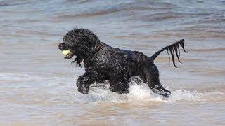 Cao de Agua Português / Portuguese Water Dog / Португальская водяная собака
