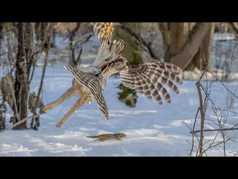 Barred Owl Hunting A Chipmunk - Epic Pursuit In Daylight (Graphic)