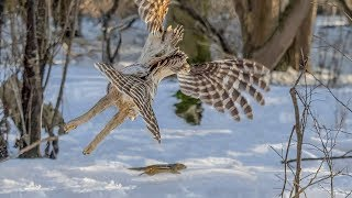Barred Owl Hunting a Chipmunk  Epic Pursuit in Daylight (Graphic)