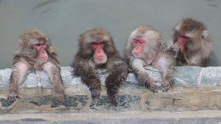 温泉は極楽でござる   函館の植物園、サルが入浴