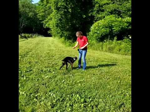 Super Awesome Doberman Puppy 'Ransom' 5 Mos Early Obedience Training