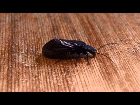 Alderfly - Sialidae