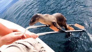 Injured sea lion pup desperate for help jumps onto boat in California