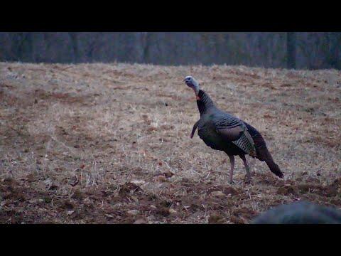 Fall Shotgun Season Turkey Hunt in Western Kentucky