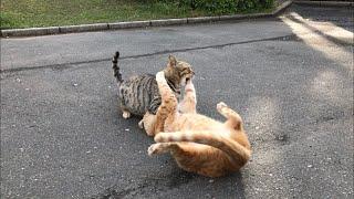 この動画の出演者 近所の公園(通称 猫公園)の地域猫 茶トラ猫 名前 金時 (配信者が勝手に呼んでる) 性別 オス 小柄な茶トラ猫、頭がふんわ...