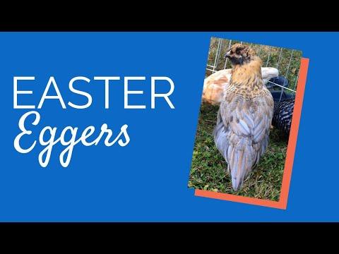 easter-egger-(ameraucanas)-|-chickens-for-backyards