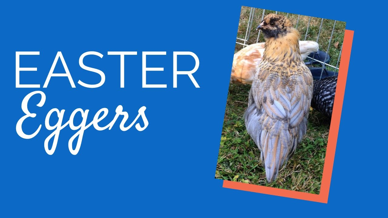 easter egger ameraucanas chickens for backyards youtube