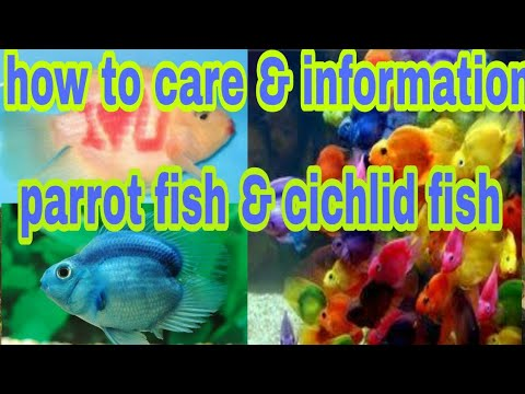 How To Care Parrot Fish About Parrot Fish