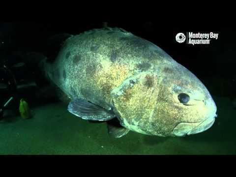 Gentle giants: hand feeding the giant sea bass!