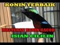 Masteran Konin Isian Cililin Lovebird Dan Kenari  Mp3 - Mp4 Download