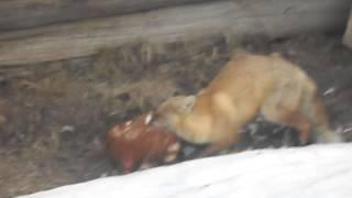 Лиса раздирает курицу!!! Слабонервным не смотреть!