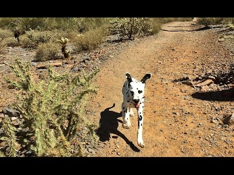 Dalmatian's Morning Workout in the Mountains