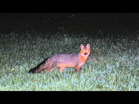 Grey Fox Bark - Shelby, MI (audio with still image)