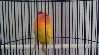 Gambar cover Love Bird Cerewet Ngekek Panjang !!! Pemancing Love Bird