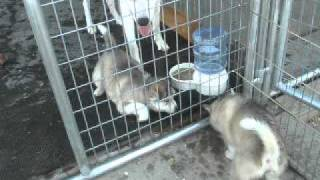 Sacred Song Indian Dog puppies playing at 5 wks old.AVI
