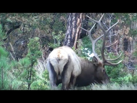 Rutting New Mexico Bulls - Elk Hunting Action
