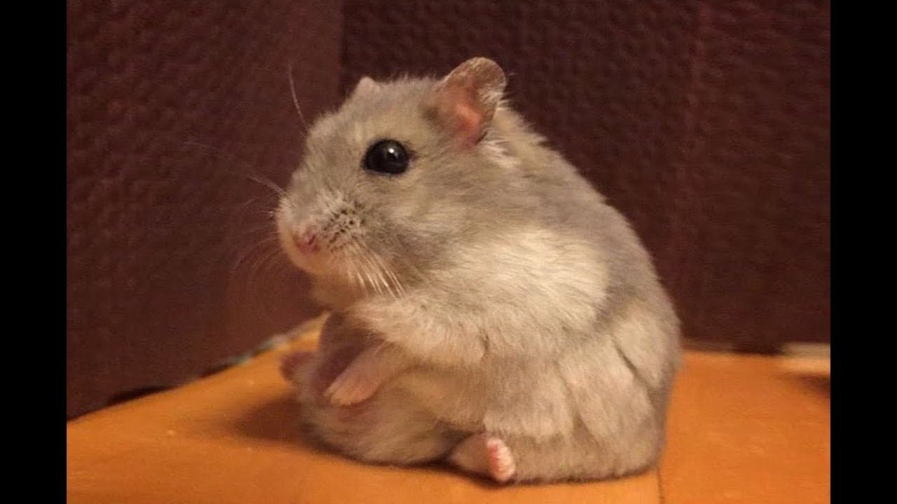 Dwarf hamster videos