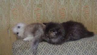 Персидские котята   DSCF0535