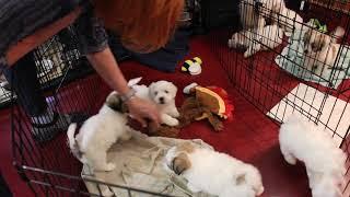 Coton de Tulear Puppies For Sale 2/27/20